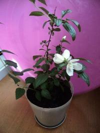 Жасмин цветет