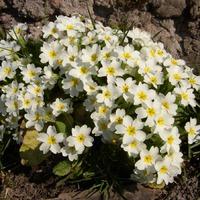 Весна и в моем саду:)Много фото