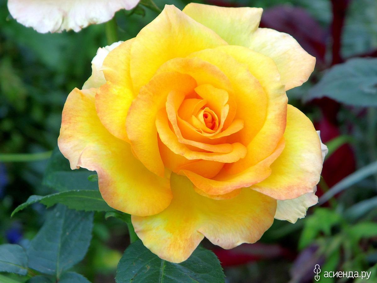 Роза медальон фото 5
