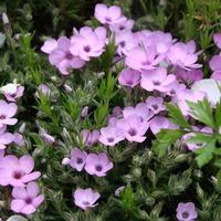 Розово-фиолетовые тона