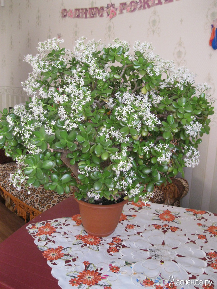 Денежное дерево с цветами