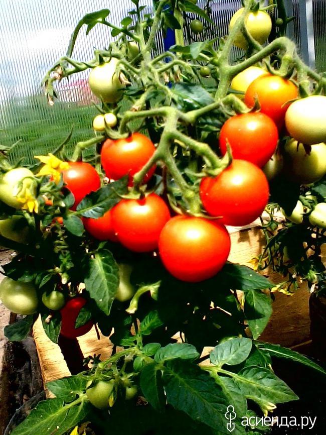 Балконное чудо помидоры выращивание в теплице 22