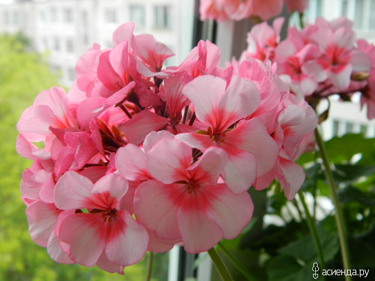 Королевская пеларгония цветов