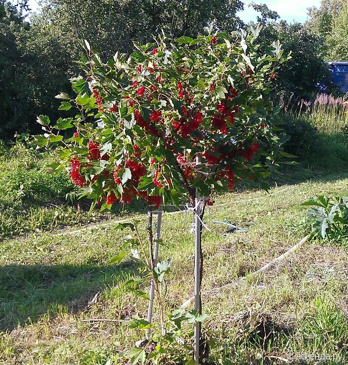 Как превратить куст смородины в дерево? В саду (Огород. ru) 88