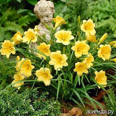 цветы лилейники фото: