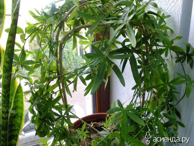 Выращивание маракуй в домашних условиях