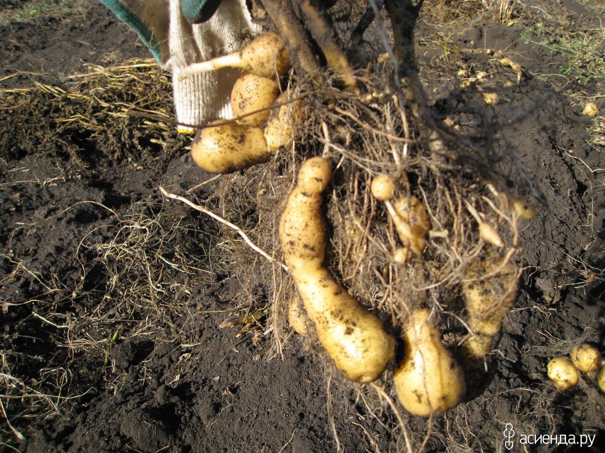 Картофель сажать в розы