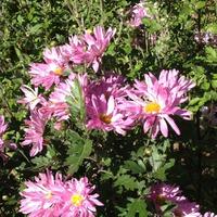 Кукарача Филмз presents - Еще цветут хризантемы в саду