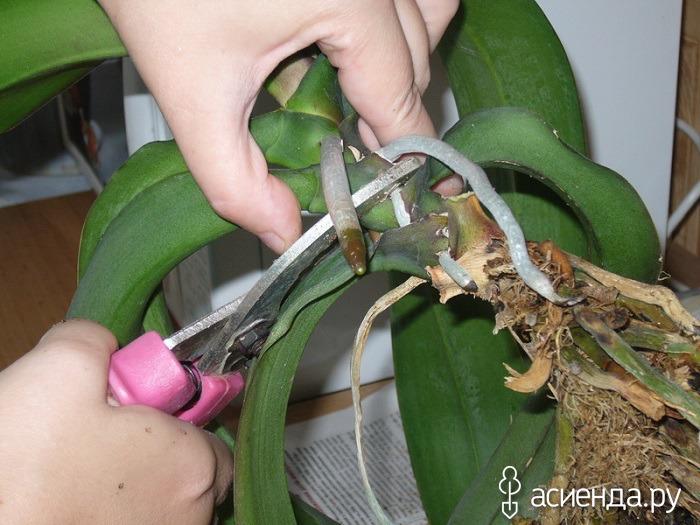 Как размножить домашнюю орхидею в домашних условиях