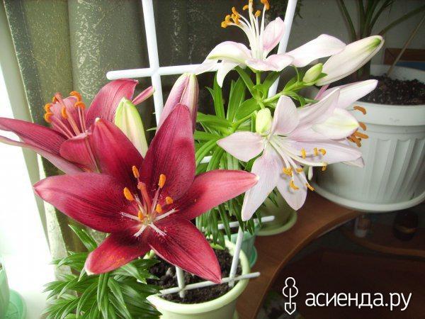 Белая лилия в домашних условиях 326