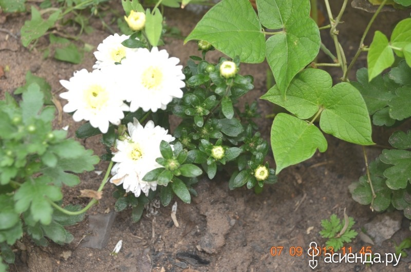 хризантема мультифлора  и названия
