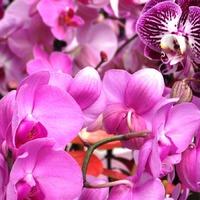 Кёкенхоф. Оранжерея Беатрикс. Орхидеи. Часть 3.