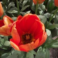 Кёкенхоф. Тюльпаны. Часть 4.