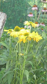 Жёлтые гибридные эхинацеи
