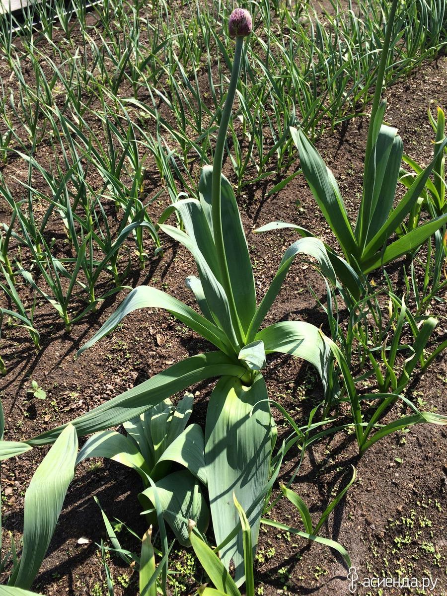 Выращивание лука анзур 73