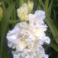 Новые гладиолусы расцвели в моем саду.