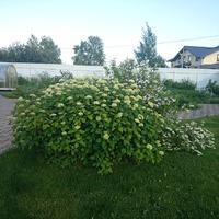 Гортензии в моем саду.
