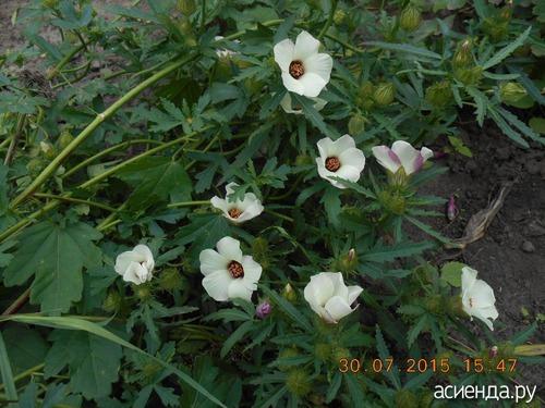 фото цветок бамия