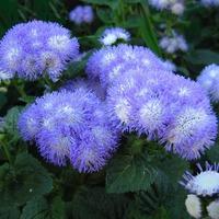 Продолжительное цветение Агератума