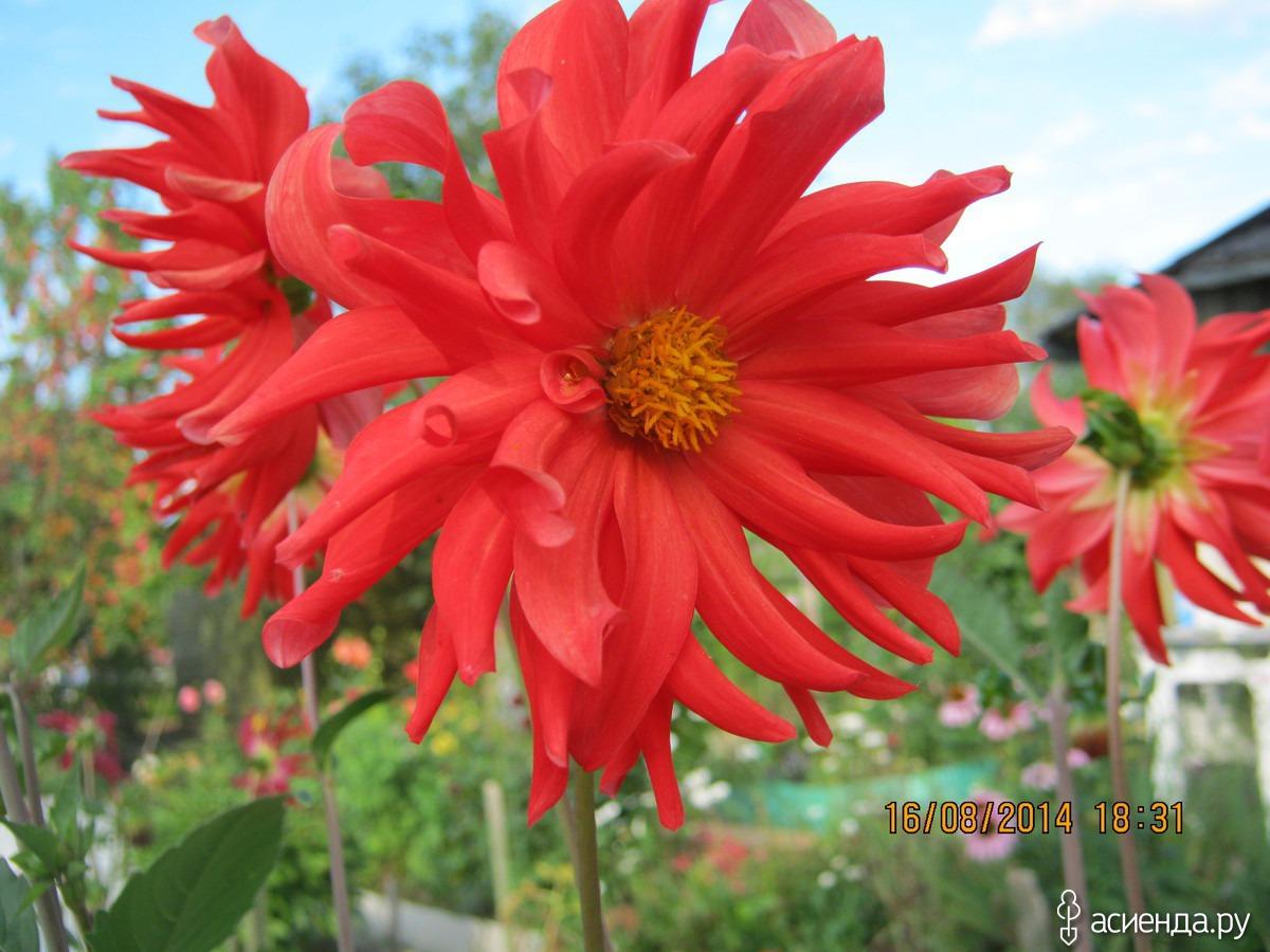 Однолетние георгины: выращивание из семян: посадка 16
