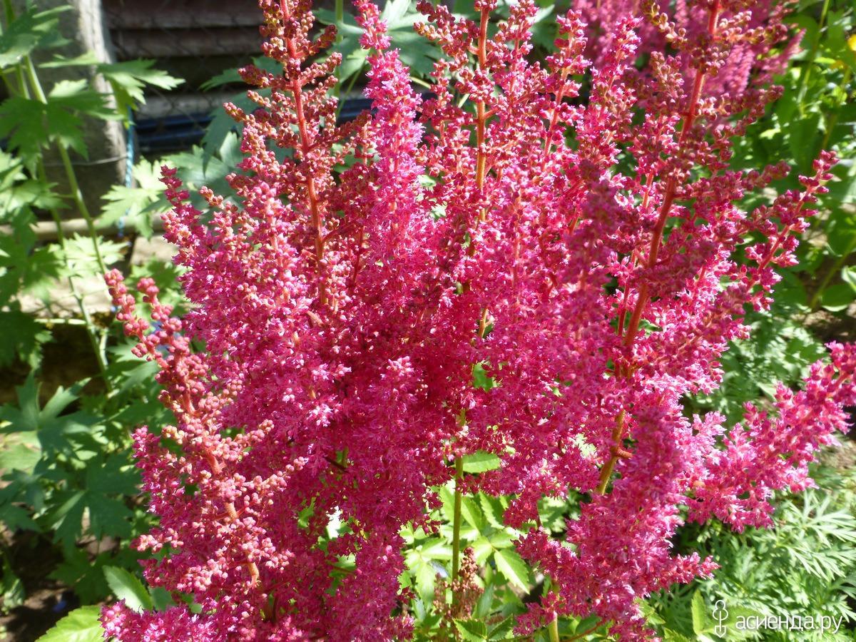 Астильбы многолетние цветы фото