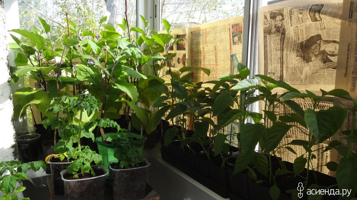 Баклажаны для выращивания на балконе 394