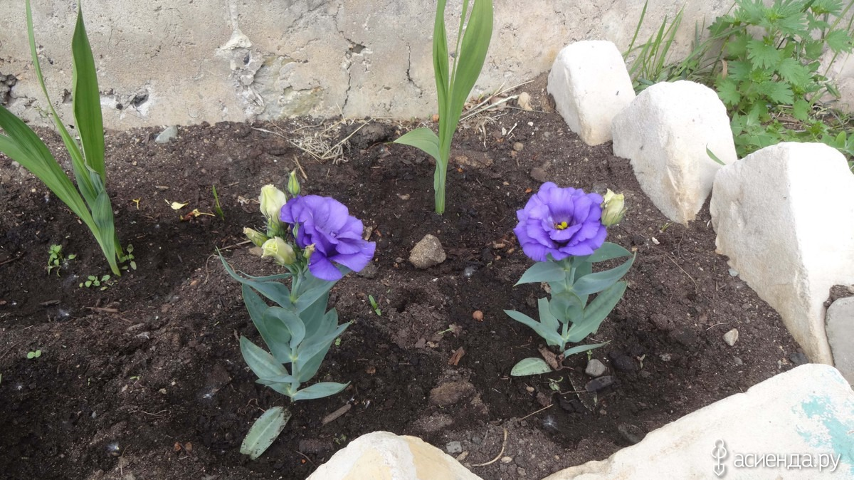 Эустома - посадка, выращивание и уход, сорта - Сад 6 соток