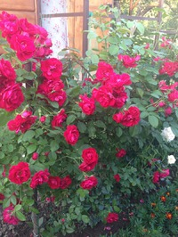 Пришла пора черенковать розы! Даешь каждому саду - розарий!!