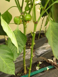 Обрезка перца при выращивании в теплице