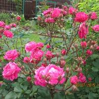 Наконец и у меня начинают цвести розы