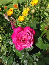 Как определить - это роза или шиповник?