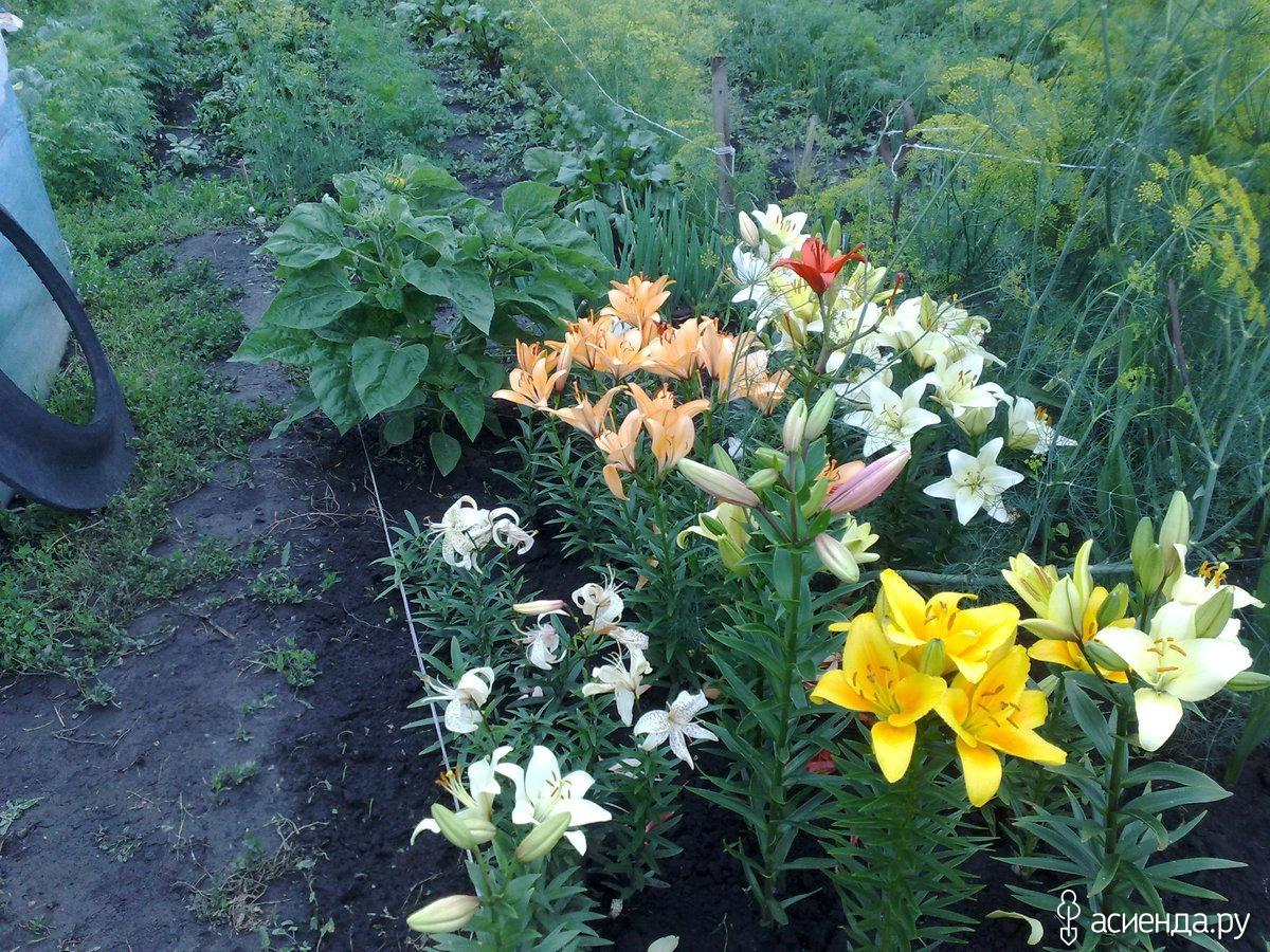 Что можно посадить к лилиям? - ответы экспертов 70