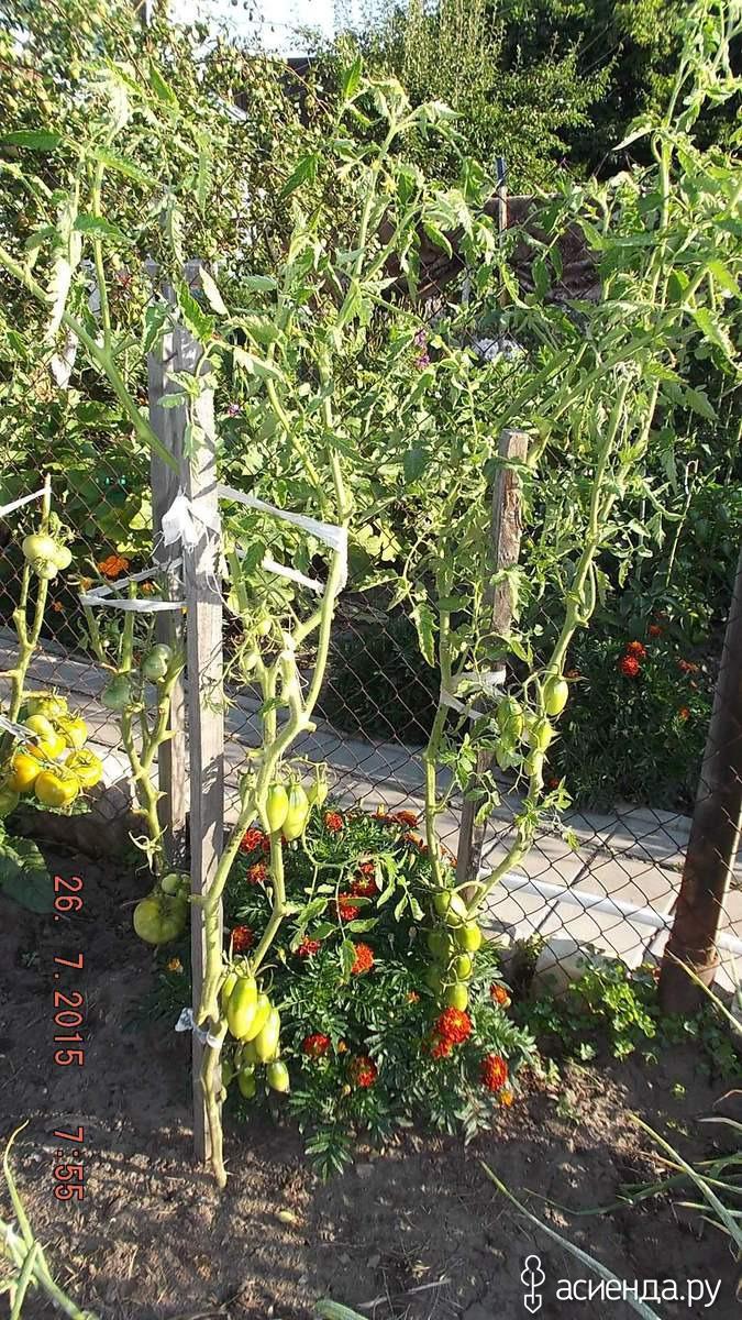 помидоры подснежник