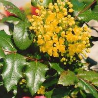 Колючие листья Магонии