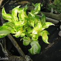 Мой тенистый уголок или сочетание теневыносливых растений
