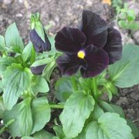 Цветы черной окраски, как вы к ним относитесь?