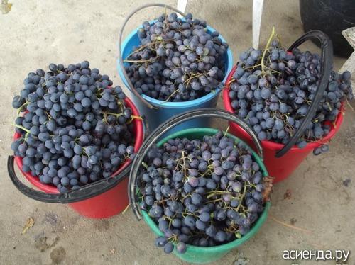 Как сделать виноградное домашнее вино фото 886