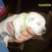 Продолжение репортажей о щенятках - сегодня на фото СЫНОК и ЛЕПЕСИНКУ прислали, (Добавляю)