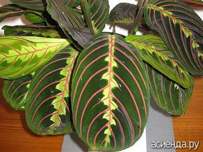 Маранта беложильчатая  Секреты выращивания комнатных растений