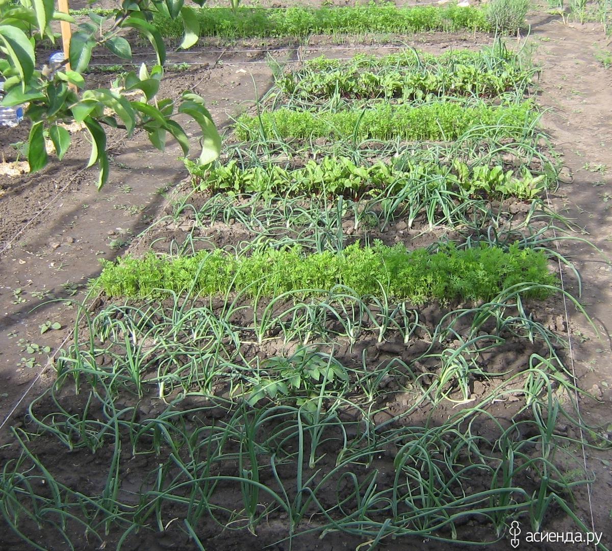 Схема посадки на грядке огурцов с кукурузой