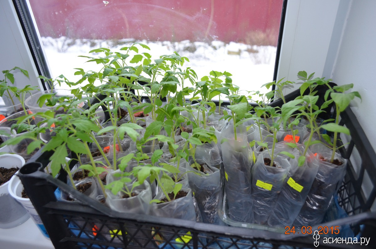 Посадка рассады помидор в пеленку 19
