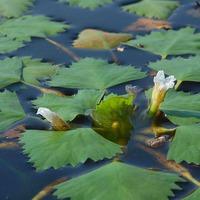 Водяной орех - необычный обитатель водоемов