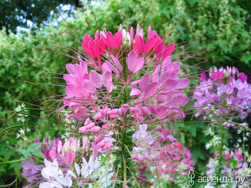 Клеома с цветов