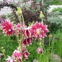 Водосбор (аквилегия) в моем саду