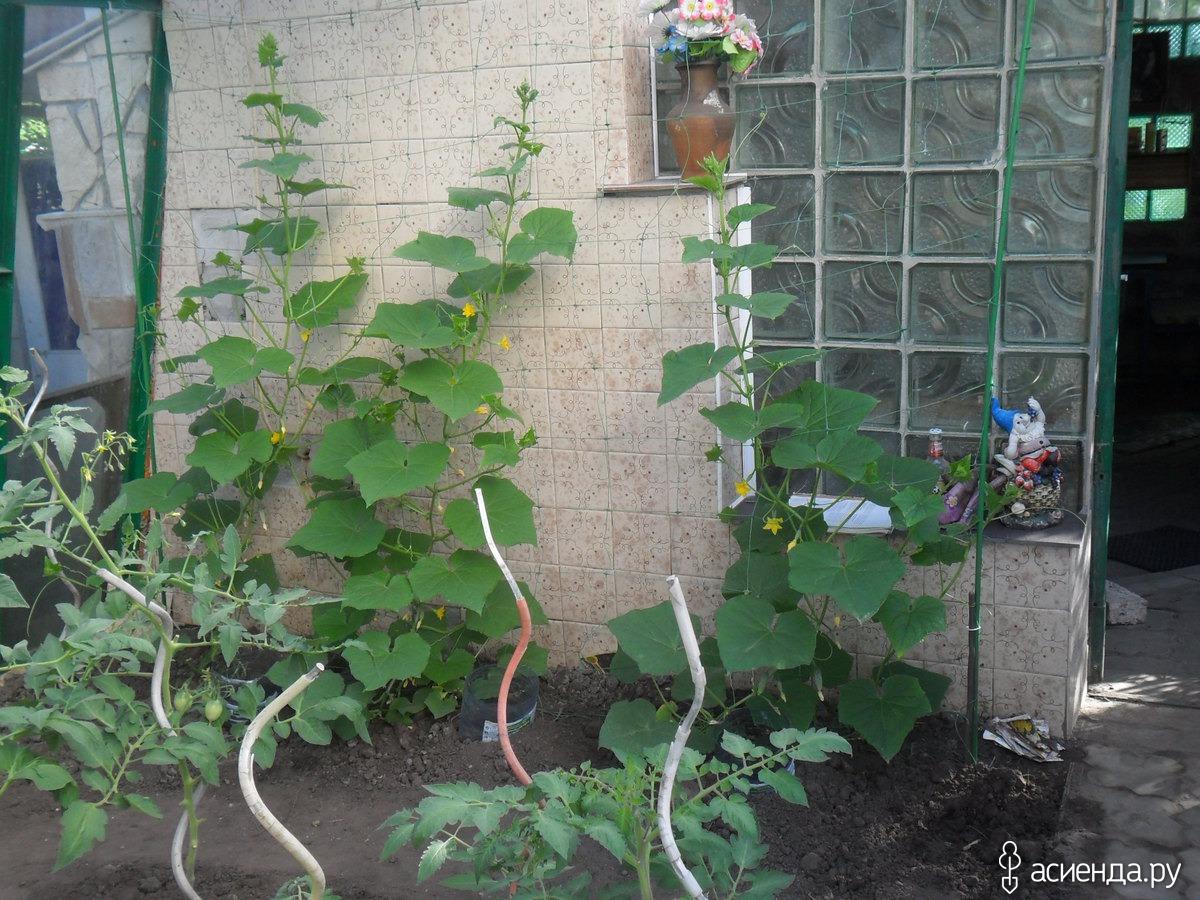 Огурцы : что можно посадить в одной теплице вместе с овощем 64