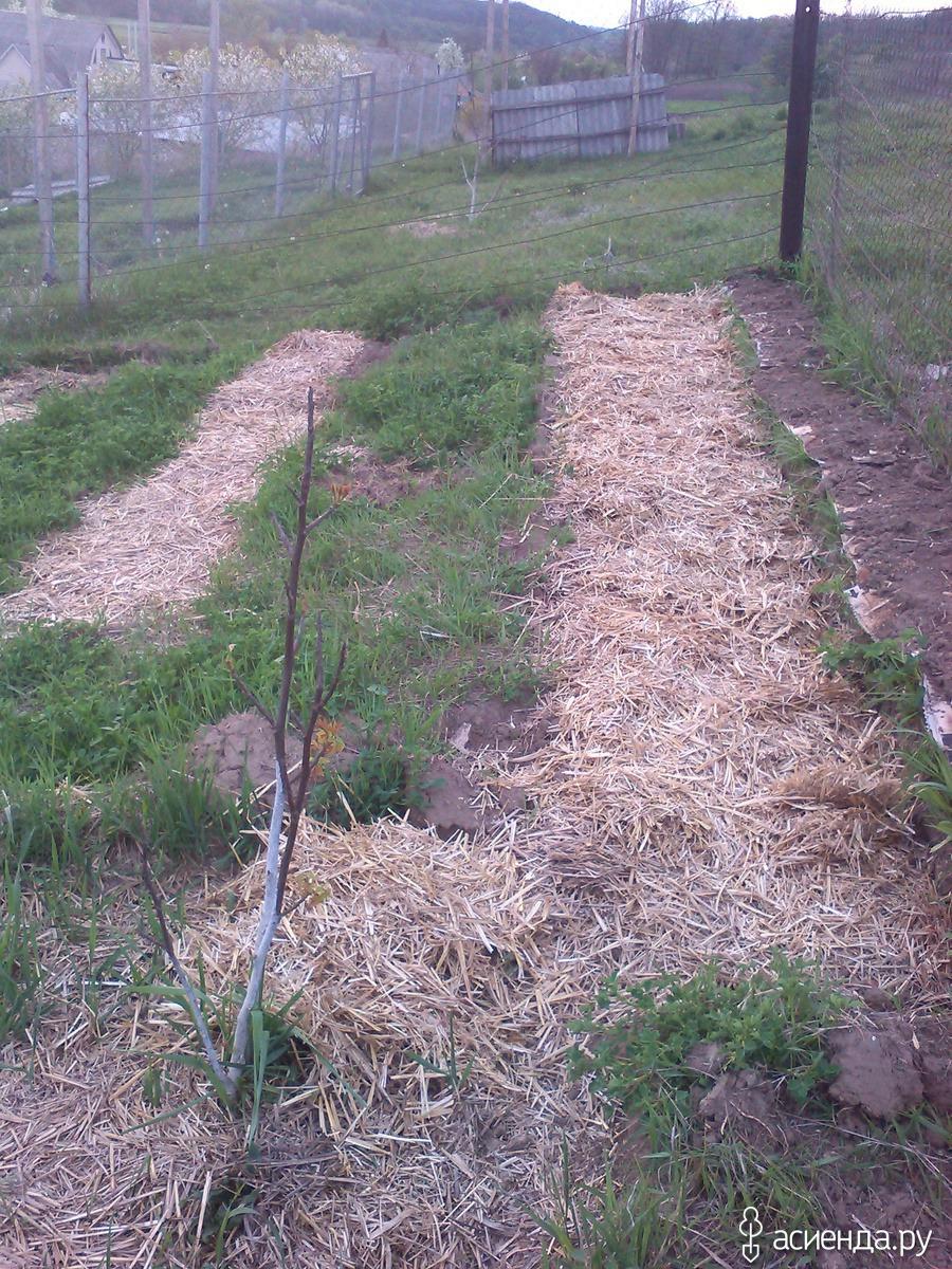 Технология выращивания картофеля под соломой и сеном 77