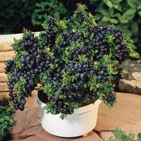Черные ягоды сарахи