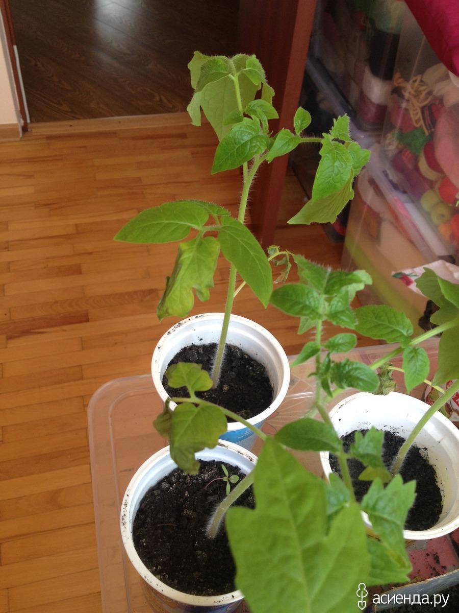 Почему сохнут листья у рассады помидор: проблемы выращивания 909