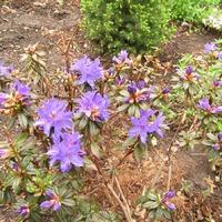 Первое цветение рододендрона