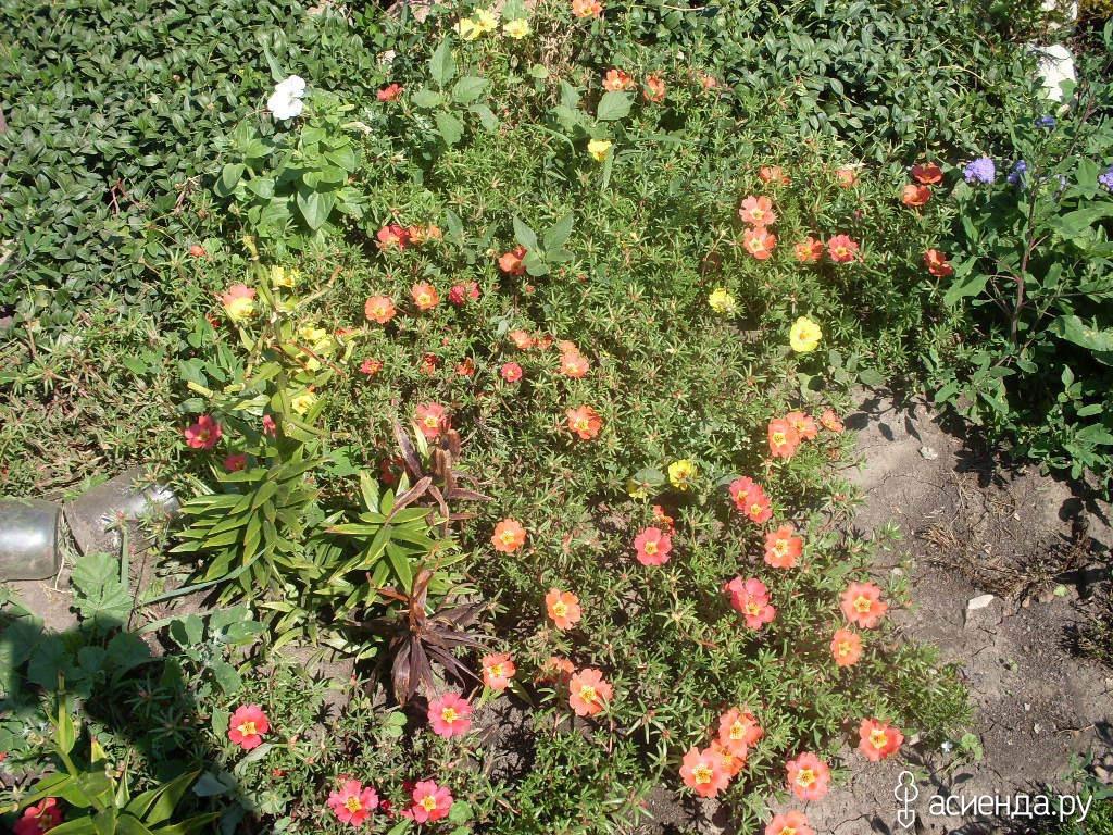 Цветы однолетняя хризантема